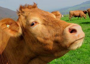 Resumen de la encíclica Laudato si. Primer plano de una vaca rubia. Al fondo más vacas