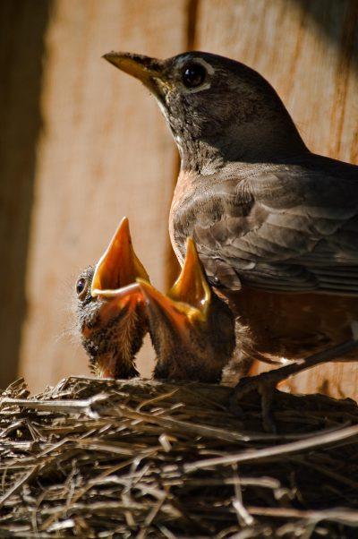 ¿Qué es la fe? NIdo con dos polluelos junto a un pájaro adulto