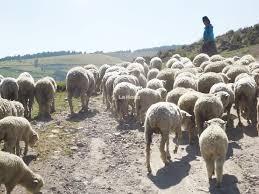 Fotografía en la que aparece un rebaño de ovejas caminando por el campo