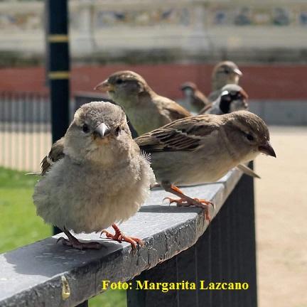 Humilde. Foto de un grupo de gorriones. Gentileza de Margarita Lazcano